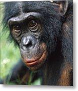 Bonobo Pan Paniscus Portrait Metal Print