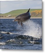 Bottlenose Dolphin - Scotland  #14 Metal Print