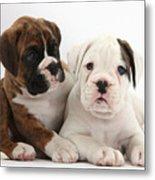 Boxer Puppies Metal Print