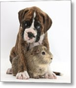 Boxer Puppy And Guinea Pig Metal Print by Mark Taylor