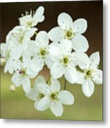 Bradford Pear Flower Metal Print