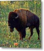Buffalo Custer State Park Metal Print
