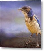 Blue Scrub Jay Metal Print
