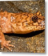 California Giant Salamander Metal Print