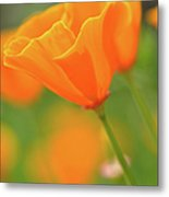 California Spring Poppy Macro Close Up Metal Print