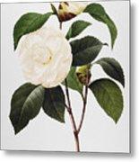 Camellia, 1833 Metal Print