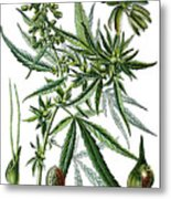 Cannabis Sativa Metal Print