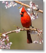 Cardinal In Cherry Metal Print