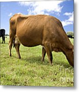 Cattle Grazing Metal Print