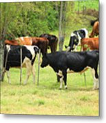 Cattle In A Pasture Metal Print