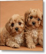 Cavapoo Pups Metal Print by Mark Taylor