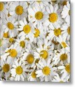Chamomile Flowers Metal Print