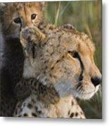 Cheetah Acinonyx Jubatus And Cub Metal Print