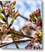 Cherry Tree Buds Metal Print