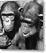 Chimpanzees Metal Print