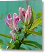Chinese Honeysuckle  Metal Print