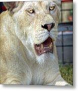 Circus Lion Metal Print