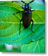 Climbing Beetle Metal Print