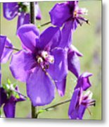 Close Up Of Verbascum Phoeniceum Metal Print