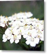 Close-ups Of A White Meadow Flower Metal Print
