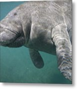 Close View Of A Manatee Metal Print by Nick Norman