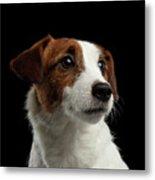 Closeup Portrait Of Jack Russell Terrier Dog On Black Metal Print