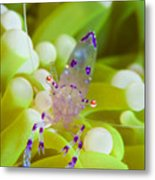 Commensal Shrimp On Green Anemone Metal Print by Steve Jones