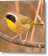 Common Yellow-throat Metal Print
