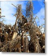 Corn Stalks Drying In The Sun Metal Print