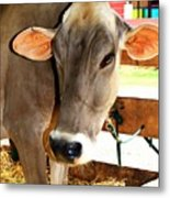 Cow 2 Metal Print