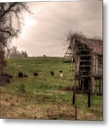Cows In A Field By A Barn Metal Print