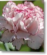 Creamy White With Red Picotee Carnation Metal Print