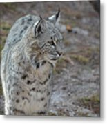 Curious Wandering Bobcat Metal Print