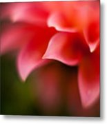 Dahlia Edges Metal Print