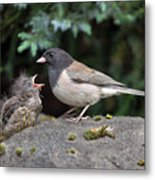 Dark-eyed Junco Mother And Baby Metal Print