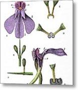 Darwins Orchis Pyramidalis, Illustration Metal Print