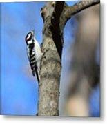 Downy Woodpecker Metal Print