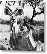East Africa: Kudu Metal Print