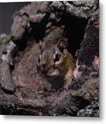 Eastern Chipmunk In Tree Metal Print