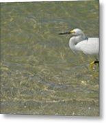 Eastern Great Egret In Florida Metal Print