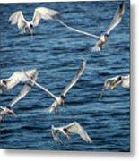Elegant Terns Diving For Fish Metal Print