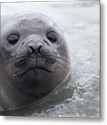 Elephant Seal Pup Metal Print