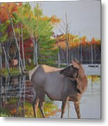 Elk Country Evening Metal Print