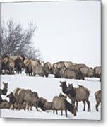 Elk Herd In The Snow Metal Print