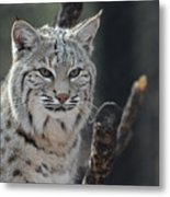 Face Of A Canadian Lynx Metal Print