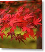 Fall Color Maple Leaves At The Forest In Aomori, Japan Metal Print