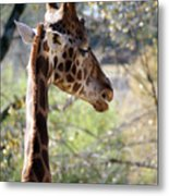 Fall Giraffe I Metal Print
