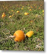 Field Of Pumpkins Metal Print