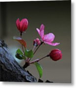 Flowering Crabapple Metal Print