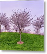 Flowering Young Cherry Trees On A Green Hill In The Park  Metal Print